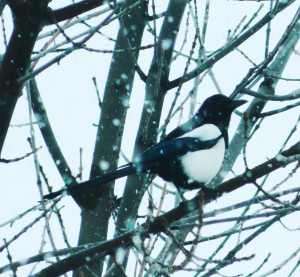 Magpiealone