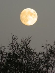 moonbushes