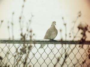 Vintage Dove