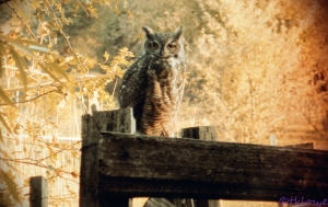 Vintage OwlC