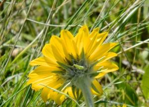 sunflowerback