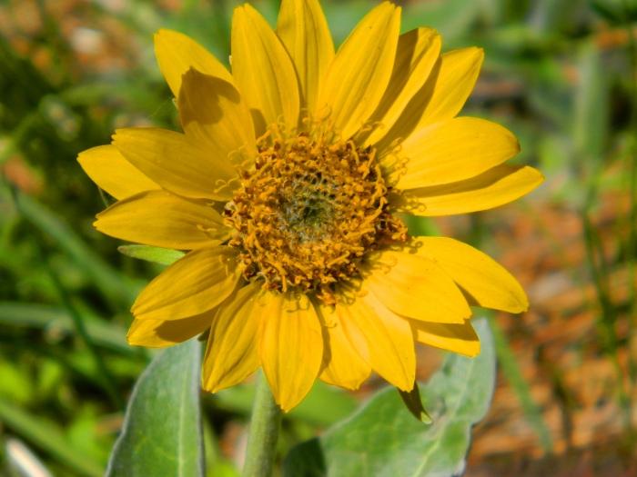 sunflowersolo2